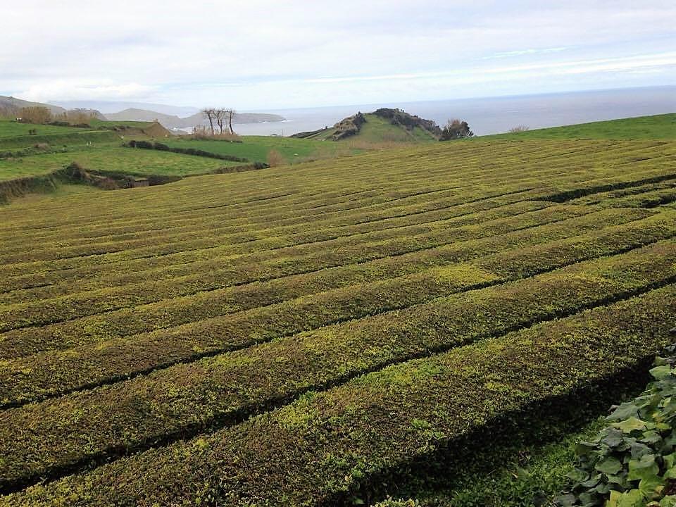 Plantação de chá da Gorreana - Açores