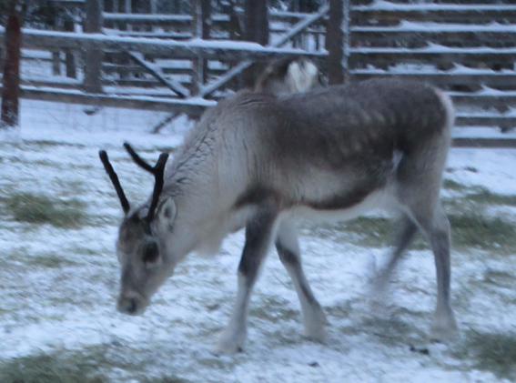 Animais em Rovaniemi