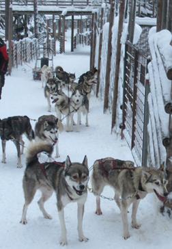 Huskies na Lapónia
