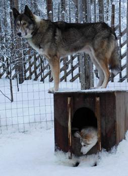 Passeio de Huskies Lapónia