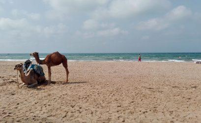 Dromedários na praia de Saidia
